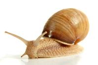 Snail from a breeding facility