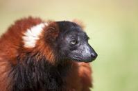 Red Ruffed Lemur (Varecia rubra) against defocussed green backgr