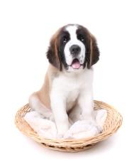 Happy Saint Bernard Puppy Dog in a Basket