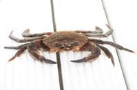 Velvet or swimming crab