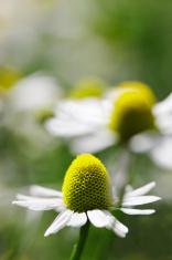 Chamomile Flowers Matricaria Recutita