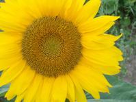 Single sunflower with yellow petals closeup