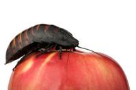 cockroach on the apple