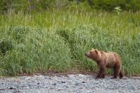 Brown bear walking on a coast. Katmai, Alaska