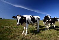 danish cows