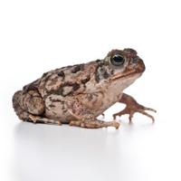 cane toad or bufo marinus
