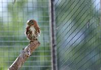 Die kleinste Eule Brasilianischer Sperlingkauz