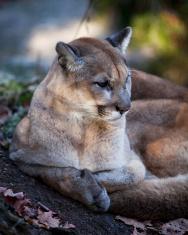 Cougar, Side look
