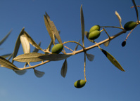 Oliven Tree