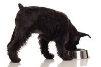 Schnauzer dog eating or drinking from dish