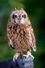 Pueo, the Hawaiian Owl