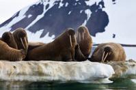 Walrus colony in  Franz Josef Land