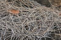 Acacia Needles