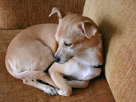 Chihuahua Resting On Sofa