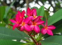 frangipani or plumeria tropical flowers