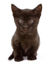Tiny black kitten on a white background
