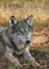 Timber wolf lying down