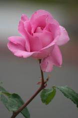 Perfect Pink Rosebud