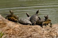 Lake turtles are taking sun bath.