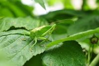 huge grasshopper