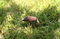 Maybug - Cockchafer insect