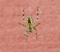 European Garden Spider (Araneus diadematus) Macro
