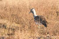 Kori Bustard in the plains of Serengeti, Tanzania