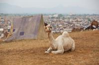 White camel and tents at Pushkar fair, India