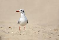 seagull