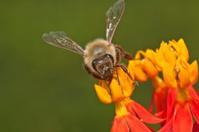 Honey bees (or honeybees)