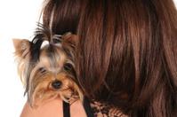 Yorkshire Terrier sitting on the shoulder
