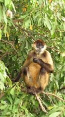Nicaraguan Monkey