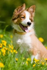 border collie puppy in flowers