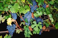 Grape. Color Image