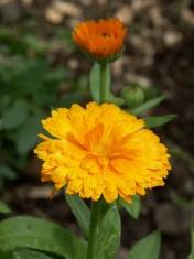 Orange Calendula Flower