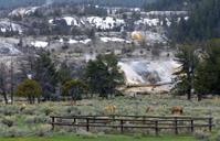 Elks at Mammoth Hot Springs