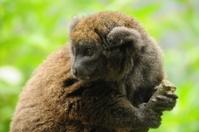 Gentle Lemur.