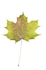 Norway Maple Crimson King Leaf