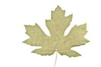Bigleaf Maple