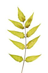 Tree-of-heaven Leaflet