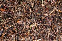 Pine Needle forest floor