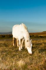 White Welsh Pony grazing