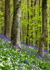 Bluebells and Ramsons in a Dorset Wood
