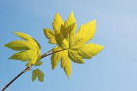 Maple in spring