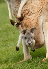 Kangaroo Joey