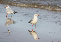 Terns at the beach.