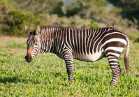 Cape Mountain Zebra standing