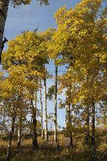 Poplar Trees in the Fall