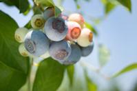 Blueberries Ripening II
