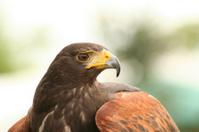 Harris Hawk profile